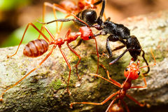 Red weaver ants teamwork royalty free stock images