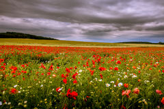 Red weed with daisies on a field. Dark sky Stock Photos