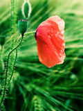 Red-weed with drops Royalty Free Stock Photo