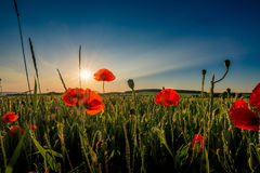Red weed and wheat. Royalty Free Stock Photo