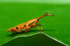 Red Weevil Royalty Free Stock Photos