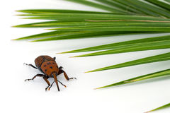 Red weevil insect Royalty Free Stock Images