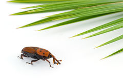 Red weevil insect Stock Images