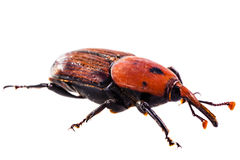 Red weevil Stock Images