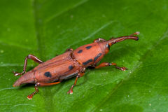 Red weevil/snout beetle Stock Photo