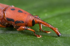 Red weevil/snout beetle Royalty Free Stock Photography