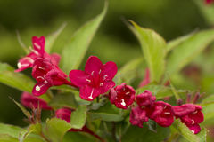 Red weigela fllowers Royalty Free Stock Image