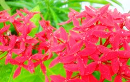 Red West Indian Jasmine Ixora coccinea flowers on tree Royalty Free Stock Photos