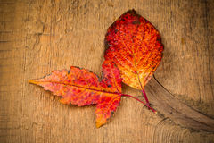 Red wet autumn leaves Royalty Free Stock Images