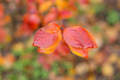 Red wet autumn leaves Stock Photo