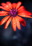 Red wet flower head Stock Images