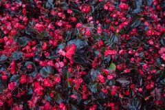 Red wet flowers with leafs dramatic scene for background. And copy space royalty free stock photo