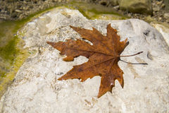 Red and wet leaf on top of stone near river Royalty Free Stock Photos
