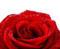 Red wet rose. With dew drops isolated on white background Royalty Free Stock Photography