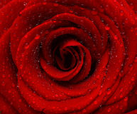 Red wet rose background. With dew drops Stock Photo