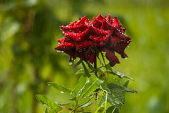 Red wet rose. Close up red rose in garden with water drops Royalty Free Stock Photos