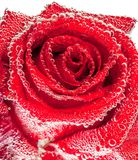 Red wet rose. Close up view of red rose with water drops Stock Photo
