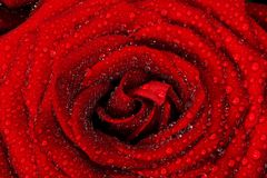 Red wet rose flower close-up. Background for Valentines day etc Stock Image