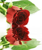 Red wet rose over white with reflection Royalty Free Stock Photo