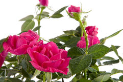 Red wet roses Stock Photography