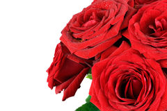 Red wet roses flowers isolated on white background. royalty free stock image