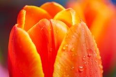 Red wet tulip Stock Image