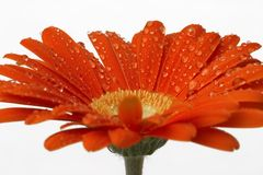 Red wety gerber daisy Stock Image