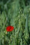 Red and wheat. Fields of Granada royalty free stock photos