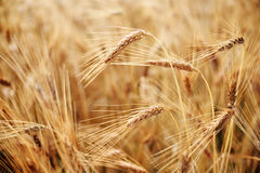 Red Wheat Stock Photography