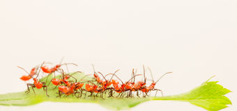 Red wheel bug nymphs Stock Photography