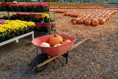 Red wheelbarrow with pumpkins. Orange and white pumpkins in a red wheelbarrow at a pumpkin patch Royalty Free Stock Photo