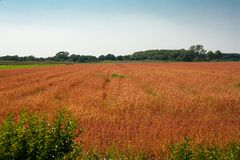 Red wheet field Stock Images