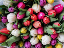 Red, Whiet and Pink Tulips Stock Images