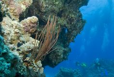 Red whip coral with scuba divers in the backgroun Stock Photography