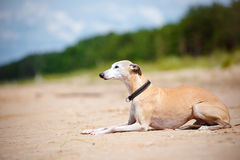 Red whippet dog lying down Royalty Free Stock Image