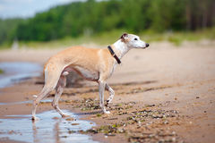 Red whippet dog walking on a beach Royalty Free Stock Photos