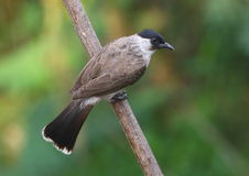 Red Whiskered Bulbul.(1) Royalty Free Stock Images