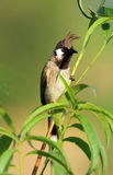Red-whiskered Bulbul stock image
