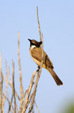Red-whiskered Bulbul Royalty Free Stock Photography
