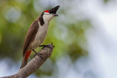 Red whiskered Bulbul. The red whiskered bulbul is a curious little bird, ready to take your lunch away by flying by fast and grabbing what it can Stock Image