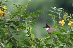 Red-whiskered Bulbul. A male Red-whiskered Bulbul (Pycnonotus jocosus)  hides himself in the bushes Stock Images
