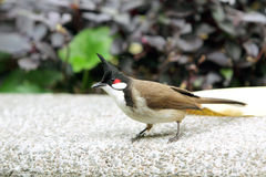 Red-whiskered Bulbul. Standing on the ground Royalty Free Stock Photography