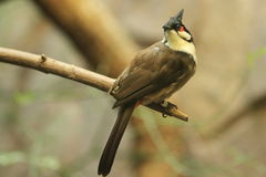 Red-whiskered bulbul Stock Photos
