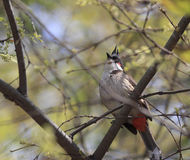 Red - whiskered bulbul Stock Photography