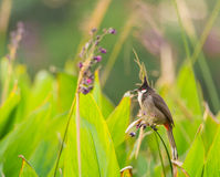 Red-whiskered Bulbul bird Royalty Free Stock Images