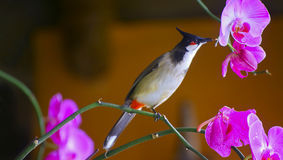 Red whiskered bulbul bird Royalty Free Stock Photography