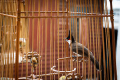 Red-whiskered Bulbul in the bird cage Royalty Free Stock Images