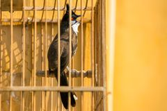Red-whiskered Bulbul in the bird cage royalty free stock image