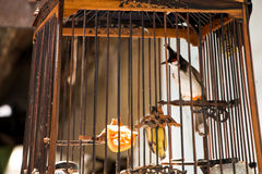 Red-whiskered Bulbul in the bird cage Stock Photography