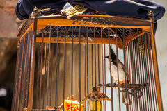Red-whiskered Bulbul in the bird cage Royalty Free Stock Photo